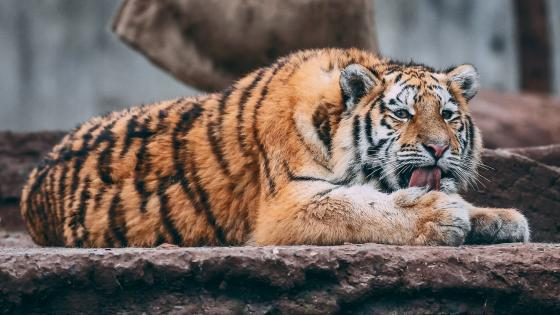 Tiger in the zoo wallpaper