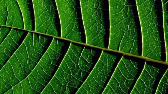 Veins in a leaf wallpaper