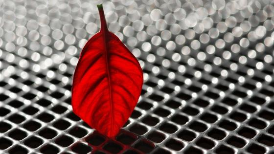 Poinsettia Red Leaf wallpaper