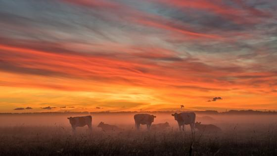 Cow herd in the morning fog wallpaper