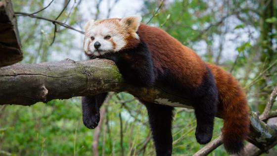 Funny Red panda wallpaper