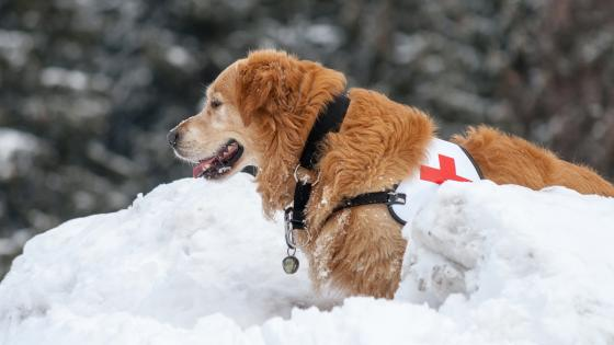 Golden Retriever rescue dog wallpaper