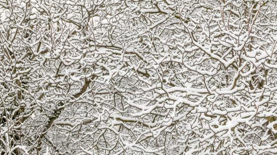 Snowy branches wallpaper