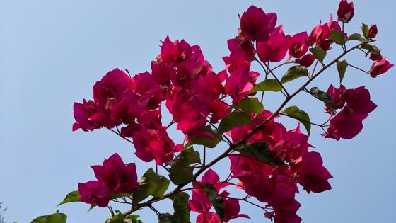 Pink Bougainvillea  captured in jungle wallpaper