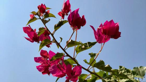 Pink Bougainvillea wallpaper