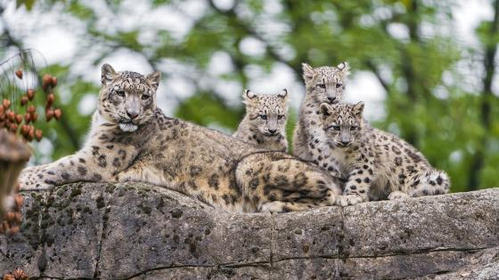 Snow leopard cubs wallpaper