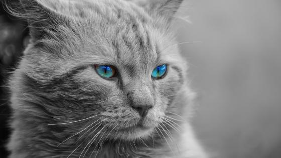 Black and white cat with blue eyes wallpaper