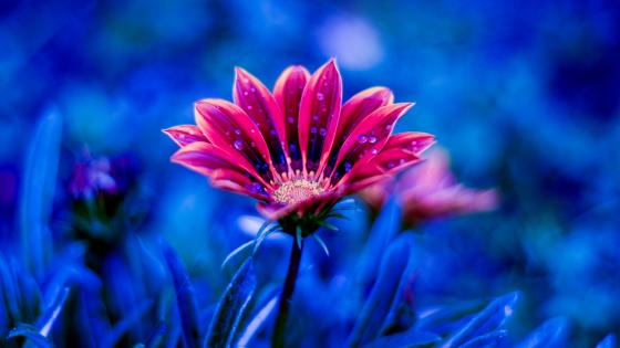 Blurred red flower with dew drops wallpaper