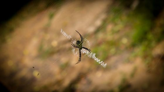 Golden orb weaver spider wallpaper