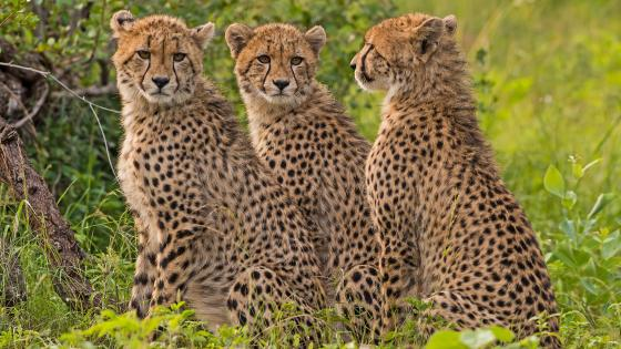 Three young cheetahs wallpaper