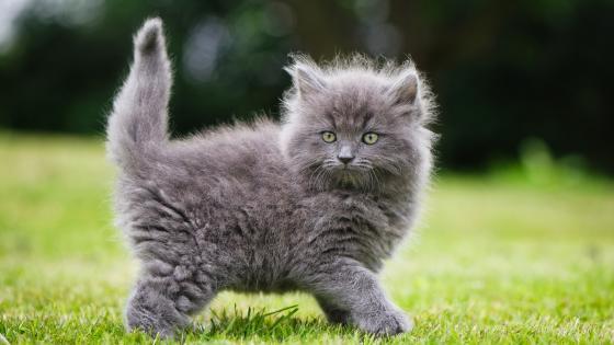 Fluffy kitten wallpaper