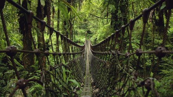 Suspension bridge in the jungle wallpaper
