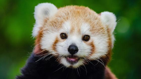 Young Red Panda Face wallpaper