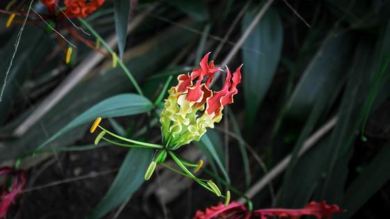 Fire Lily from Sri Lanka wallpaper