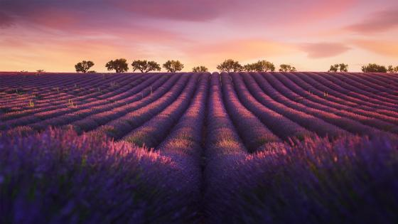 Valensole Plateau lavenders at sunset wallpaper