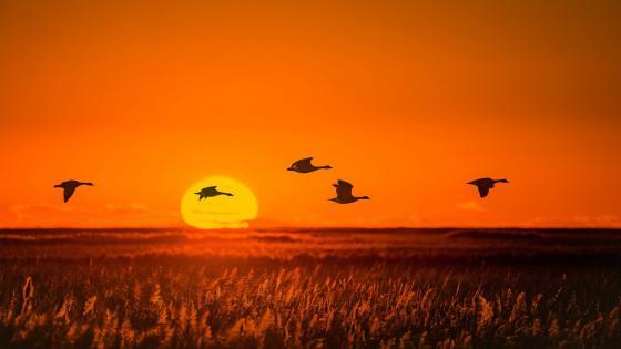 Mallards in the sunset wallpaper