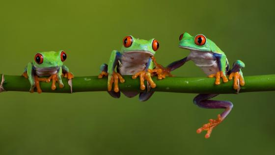 Red-Eyed Tree Frogs wallpaper