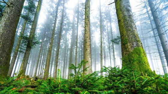 Fir forest wallpaper