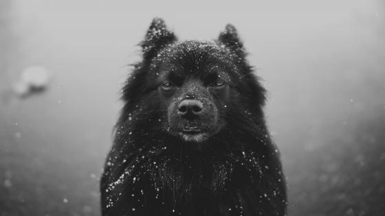 Snowy Schipperke dog wallpaper