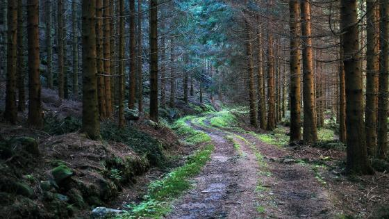 Dirt road in the forest wallpaper