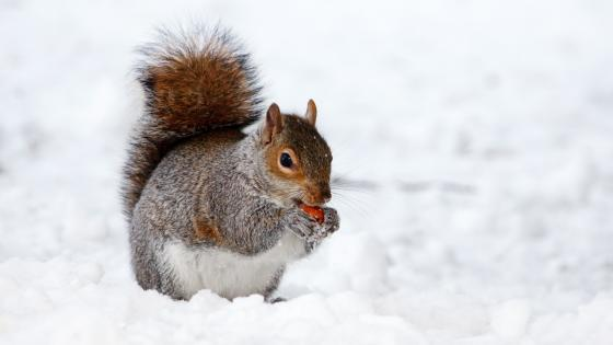 Cute squirrel in the snow wallpaper