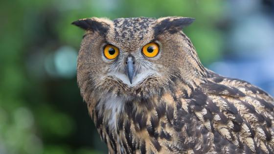 Eagle Owl wallpaper