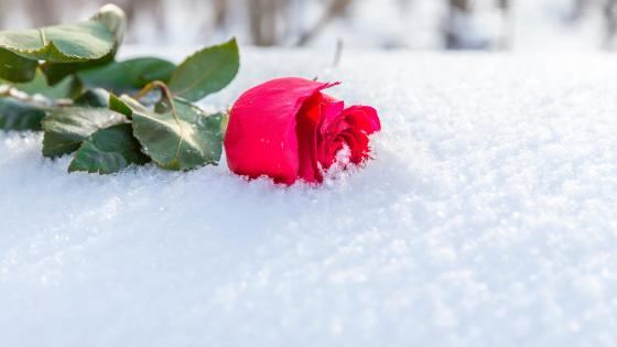 Red rose in the snow wallpaper