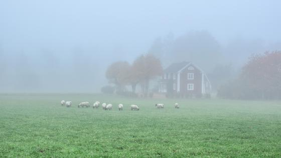 Sheep herd at the hazy farm wallpaper