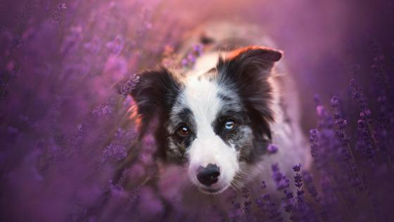 Border Collie among the lavenders wallpaper