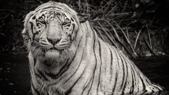 Monochrome bathing tiger photo wallpaper