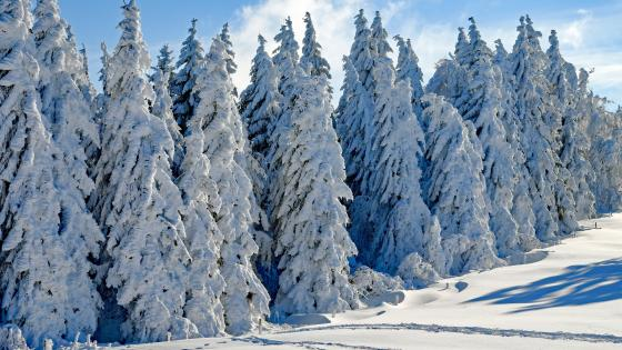 Snowy pine trees wallpaper