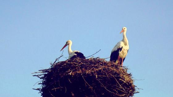 Storks wallpaper