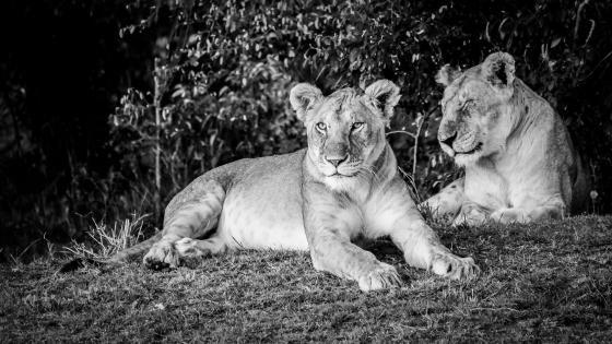 Monochrome Lions wallpaper