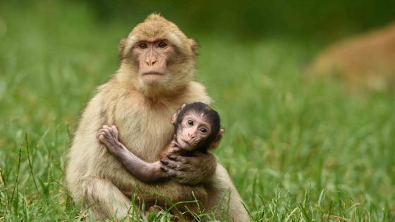 Cute monkey baby with her mom wallpaper