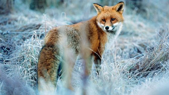 Red fox in winter wallpaper