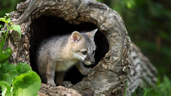 Grey fox cub wallpaper