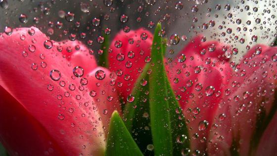 Tulips behind raindropp glass wallpaper