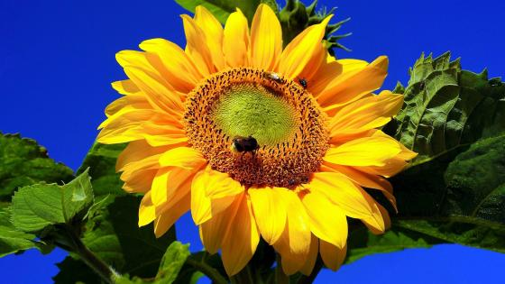 Sunflower closeup wallpaper