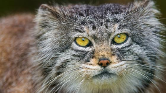 Pallas's cat wallpaper