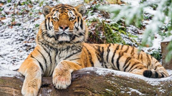 Amur Tiger wallpaper