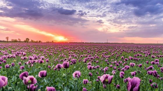 Purple poppy field wallpaper