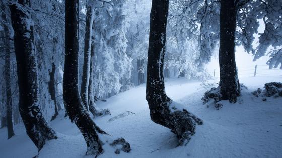 Snowy spruce fir forest wallpaper