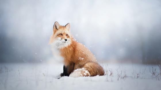 Fox in the snow wallpaper