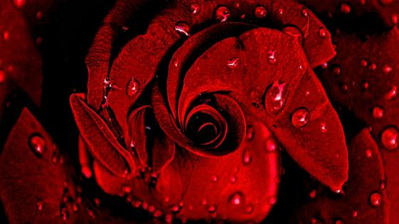 Drops of Roses wallpaper