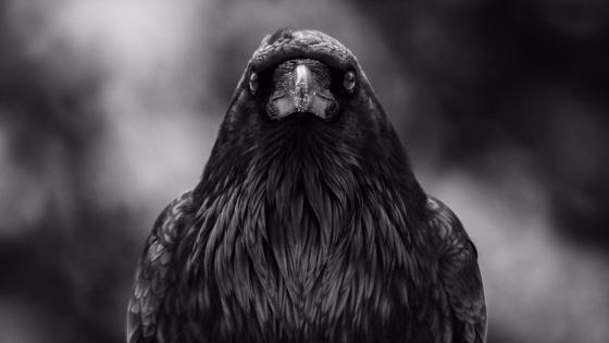 Monochrom crow photo wallpaper