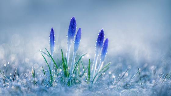 Blue Crocus flower buds in the hoary grass wallpaper