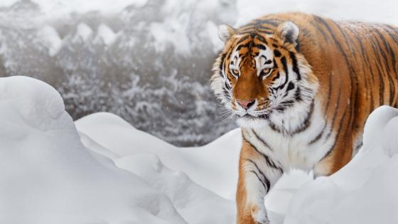 Siberian tiger in the snow wallpaper