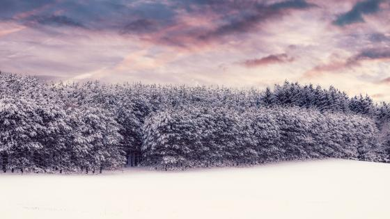 Snowy pine forest wallpaper