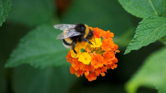 Bumblebee on flower wallpaper