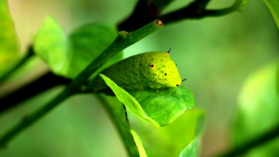 Green Caterpilar wallpaper